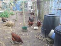 poultry 4 sale