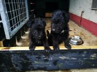 Patterdale x Lakeland pups females