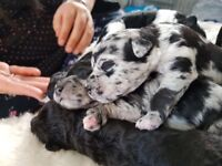 Rare coloured Woodle puppies for sale