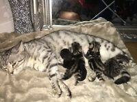 Silver Bengal Cross Blue Russian Kittens £200 - £300 (see description)