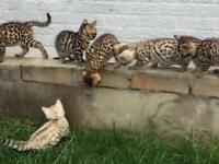 F4 TOP QUALITY BENGAL KITTENS FULL PEDIGREE