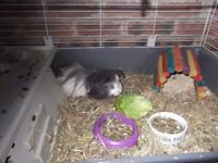2 male guinea pigs and cage £40