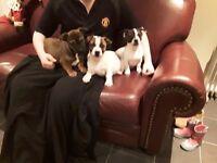 French Bulljacks puppys (French Bulldog x Jack Russell)