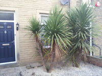 Cordyline Tree/Palm Specimen x 2 9ft high 5ft wide