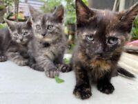 READY reduced tortoiseshell grey black kittens