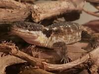 4 dwarf sungazer lizard