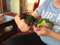 yellow cheek conure female.