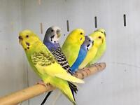 Best Budgies for sale