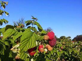 Raspberry cane plants
