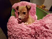 Cute jackahuahua pups for sale £180