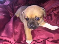 ShihZue X Pug Puppies For Sale