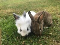 2 Baby Bunnies Ready For Sale Now!
