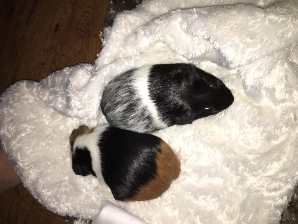 2x guinea pigs for sale and cage