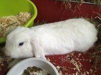 Beautiful blue-eyed white lop rabbit needs a good home