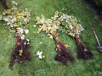 Autumn Raspberry Canes/Plants