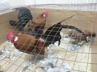Birds chickens