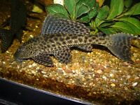 15-20 Plecos (1-3 inches size) Free. Interested person need to collect it from my fish tank.