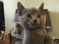 Four attractive and healthy Cypriot-grey kittens!