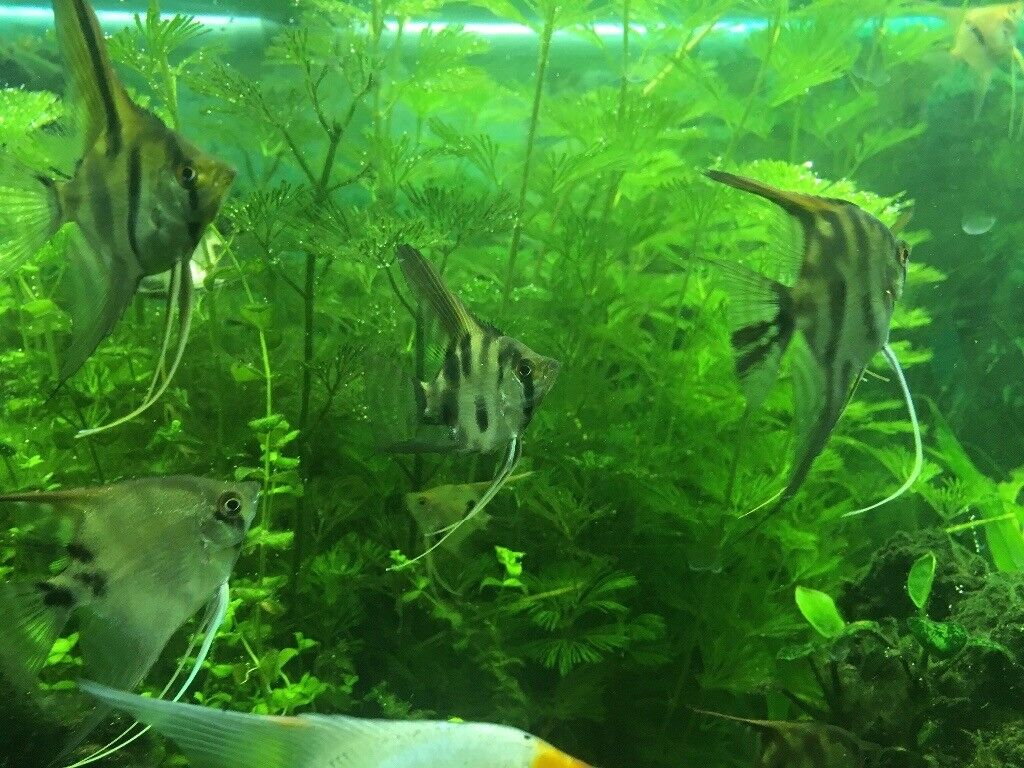 Young Zebra Angel fish for sale £2.5
