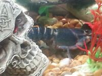Blue lobster.