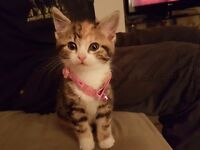 Female calico 8 week old kitten for sale