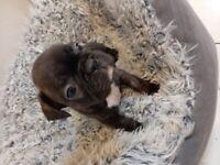 Stunning KC Reg French bulldog puppies