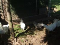 Bantams for sale