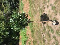 Bay tree - ARTIFICIAL