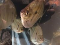 2xBarbs Fish(blue eyes)30cm+ 5xSilver dollar(tiger)15cm