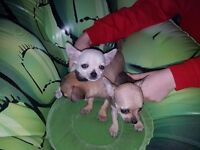 TINY TEACUP CHIHUAHUA PUPPIES FOR SALE. 2 GIRLS AND 1 BROWN BOY READY TO LEAVE THEIR MUMMY 18/3/17