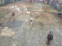 Indian chickens (aseel) for sale.