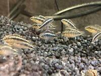 Tropical fish for sale - Plecos, Kribs, Guppies, Swordtails