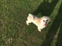 Lovely Toy poodle for sale