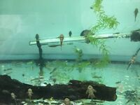 Ancistrus (bristle nose catfish) approx 200