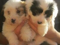 VERY RARE PARTI COLOURED MALTIPOO PUPPIES. PRA FREE.