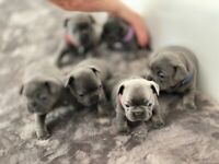Blue & Tan french bulldog puppies