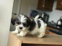 Schichon Puppies Waiting New Home