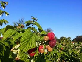 Raspberry cane plants and more