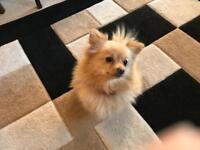 Pomeranian puppies teacup