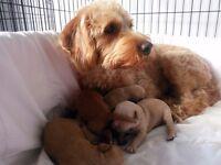 Stunning F1b Labradoodle Puppies