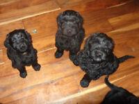 Russian Black Terrier Cross Puppies