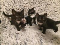 Gorgeous Black & White Kittens For Sale