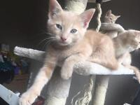 maine coon cream kitten SOLD