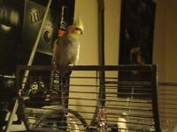 Male cockatiel with cage toys etc view conwy n.wales very reluctant sale