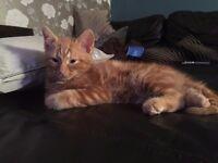 Missing ginger kitten / cat chingford area
