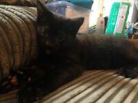 Black kitten, last from litter