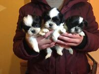 Shih Tzu Minituare Puppies