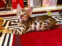 3 Bengal pure breed kittens