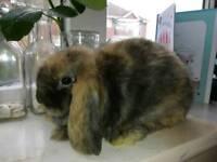 Pure dwarf minilop baby bunny girl