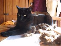 Black cat missing from Aldeby nr Beccles Suffolk